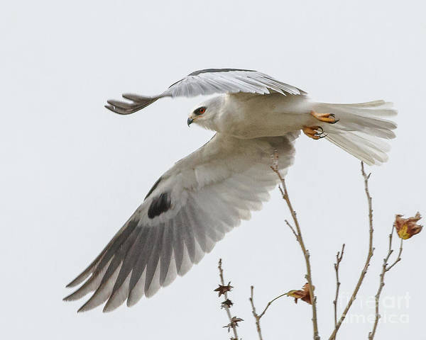 White-tailed Kite Photograph - Departure....... by Carl Jackson