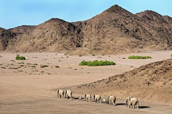 Africana Photograph - Desert-adapted Elephants by Tony Camacho/science Photo Library