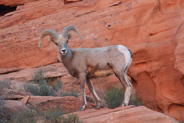 Photograph - Desert Bighorn Sheep At Nevada's Valley Of Fire by Steve Wolfe