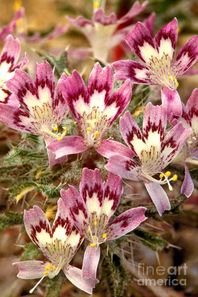 Photograph - Desert Calico Wildflowers by Dave Welling