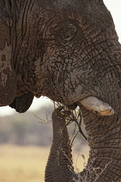 Urban Wildlife Photograph - Desert Elephant Loxodonta Africana by David Santiago Garcia