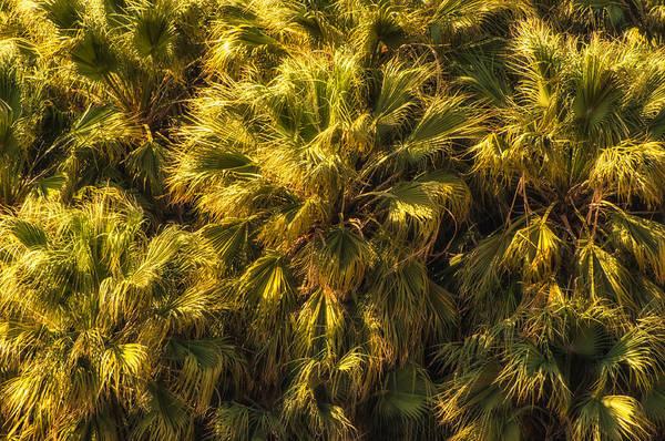 Wall Art - Photograph - Desert Fan Palms by Rich Leighton