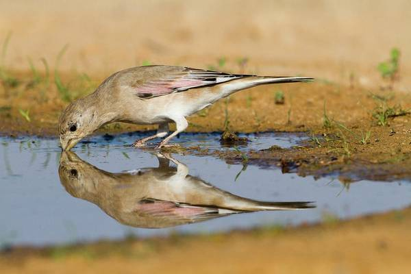 Migratory Birds Photograph - Desert Finch (carduelis Obsoleta) by Photostock-israel