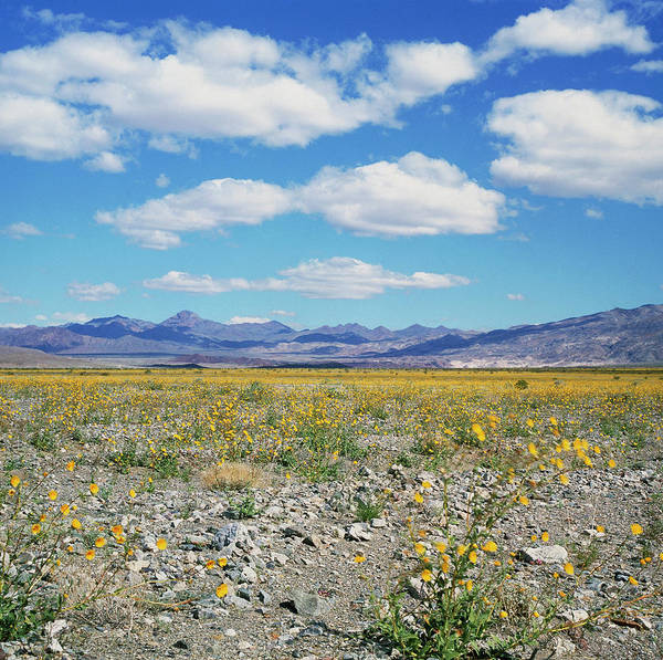 Death Valley Photograph - Desert Flowers After Rain In Death Valley by Rev. Ronald Royer/science Photo Library