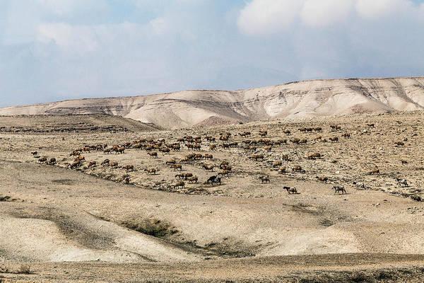 Photograph - Desert Grazing by Karen Saunders
