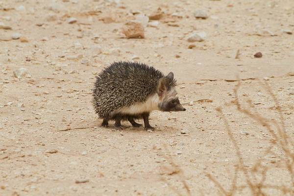 Adapted Photograph - Desert Hedgehog (paraechinus Aethiopicus) by Photostock-israel