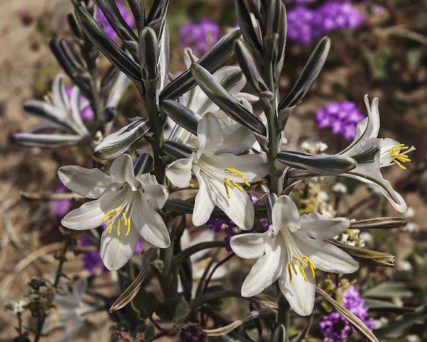 Photograph - Desert Lilies by Lee Kirchhevel