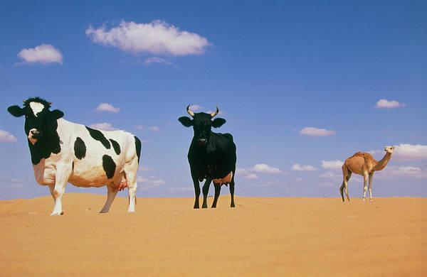 Dromedary Photograph - Desert Livestock by Philippe Psaila/science Photo Library