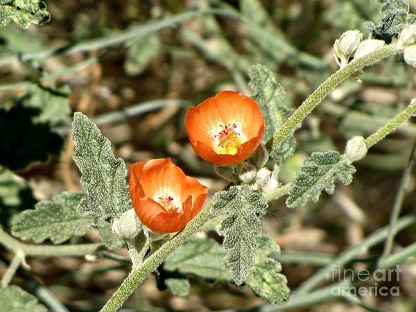 Brinton Photograph - Desert Marigold by Rhea Winscom