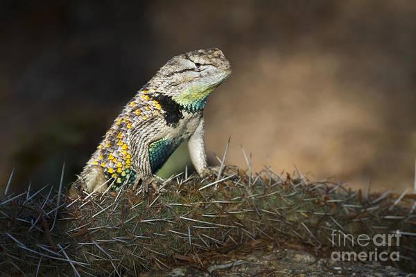 Wall Art - Photograph - Desert Spiny Lizard by Bryan Keil