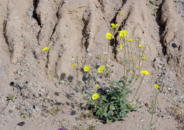 Gully Photograph - Desert Sunflower (geraea Canescens) by Bob Gibbons/science Photo Library