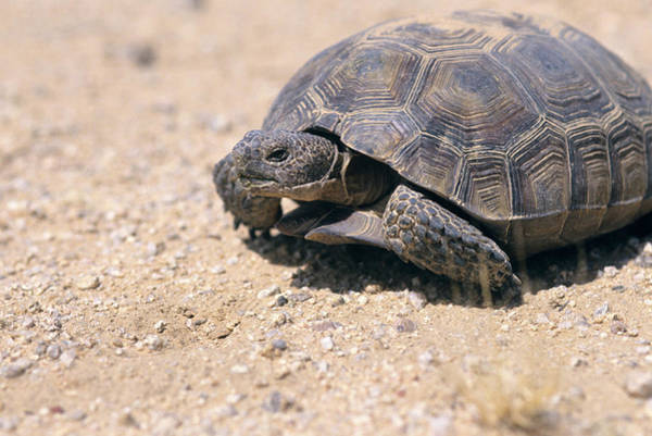 Living Space Wall Art - Photograph - Desert Tortoise Endangered East Mohave by Animal Images