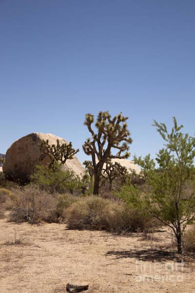 Wall Art - Photograph - Desert Trees by Amanda Barcon