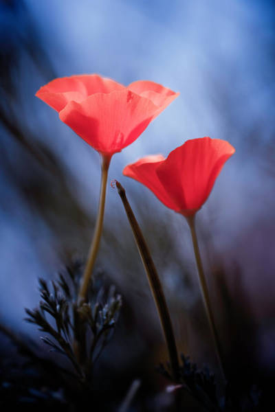 Red Poppies Wall Art - Photograph - Desire by Fabien Bravin