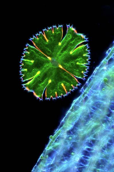 Aquatic Plants Photograph - Desmid And Sphagnum Moss by Marek Mis