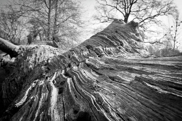 Hardwood Photograph - Detail Of An Oak Stump by Typo-graphics