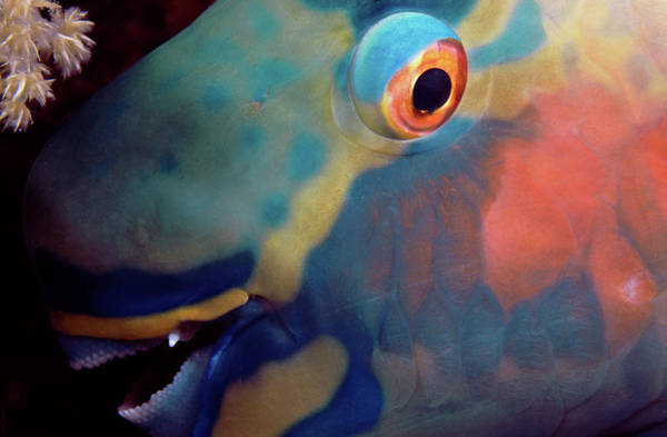 Wall Art - Photograph - Detail Of Ember Parrotfish Scarus by Animal Images