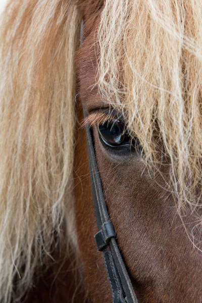 Bridle Wall Art - Photograph - Detail Of Sorrel Horse With Flax Mane by Cindy Miller Hopkins