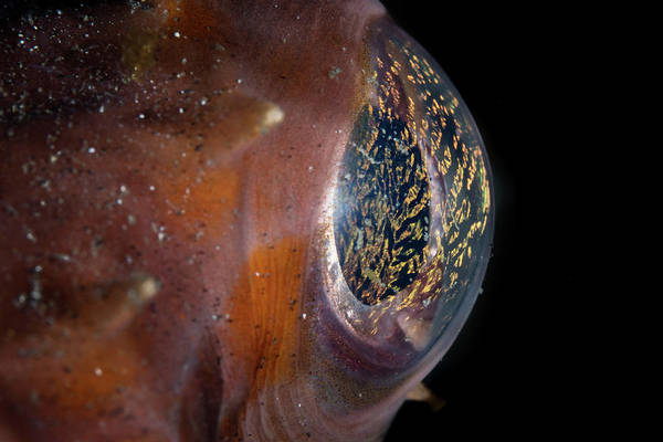 Balloonfish Photograph - Detail Of The Eye Of An Orbicular by Ethan Daniels