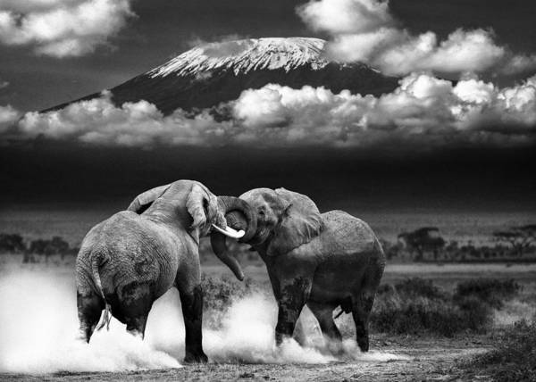 Amboseli Wall Art - Photograph - Determined To Dominate by Mike Gaudaur