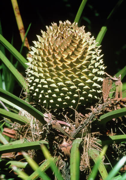 Developing Wall Art - Photograph - Developing Cycad Fruit by Dr Jeremy Burgess/science Photo Library