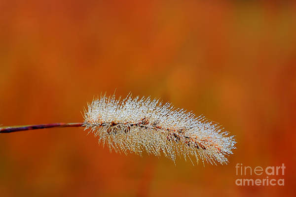 Photograph - Dew On Grass Blade In Morning by Dan Friend