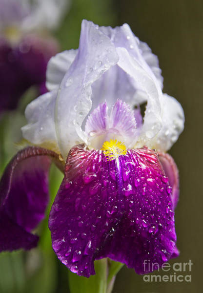 Photograph - Dewy Iris by Jemmy Archer