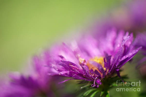 Photograph - Dewy Purple Asters by Lois Bryan
