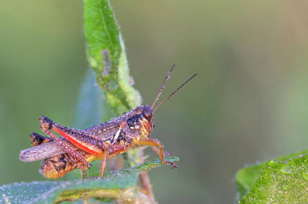 Wall Art - Photograph - Dewy Red-legged Grasshopper by Nature's Faces
