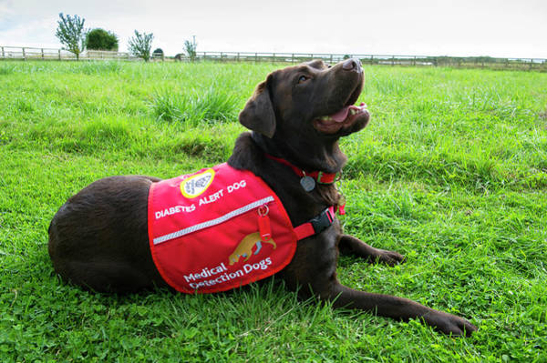 Dog Training Photograph - Diabetes Alert Assistance Dog by Louise Murray