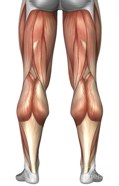 Muscle Tissue Digital Art - Diagram Illustrating Muscle Groups by Stocktrek Images