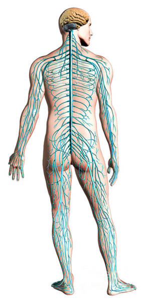 Lumbar Plexus Digital Art - Diagram Of Human Nervous System by Leonello Calvetti
