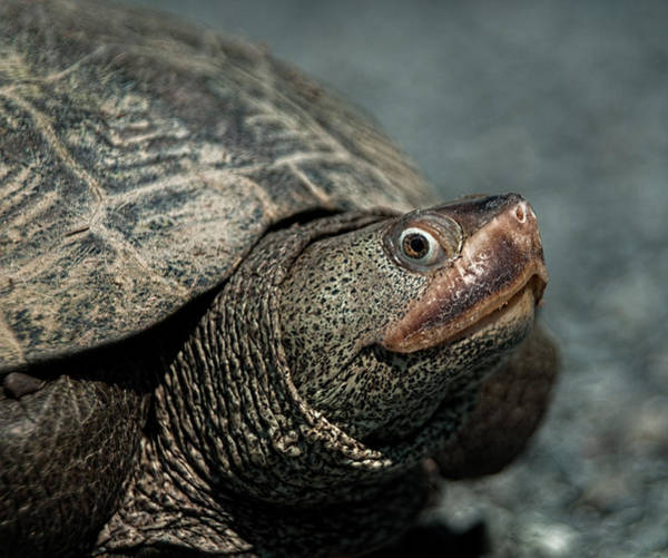 Photograph - Diamondback Terrapin by Lara Ellis