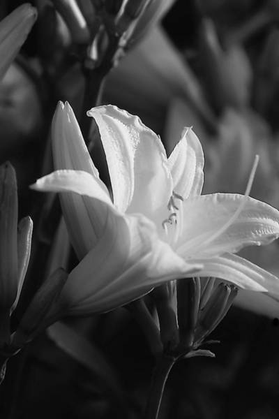 Photograph - Diana's Lily  by Beth Akerman
