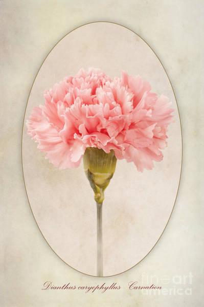Carnation Photograph - Dianthus Caryophyllus Carnation by John Edwards