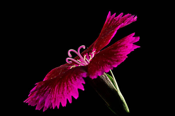 Photograph - Dianthus by Mary Jo Allen