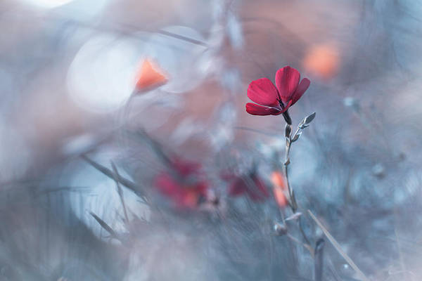 Red Flower Photograph - Diaprures Va?ga?tales by Fabien Bravin