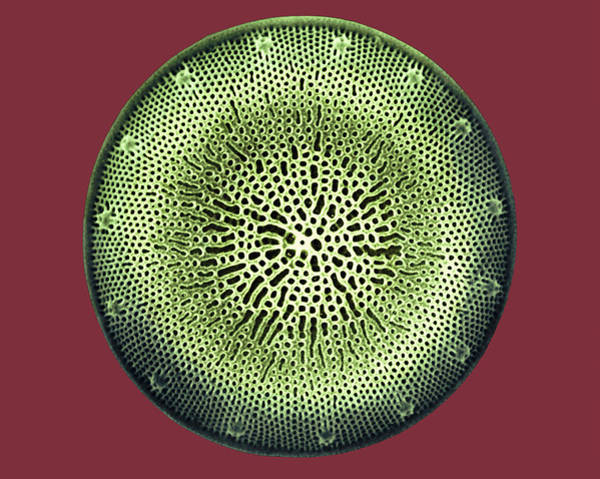 Photograph - Diatom by Dee Breger