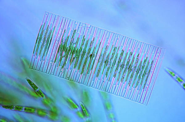 Illuminations Photograph - Diatoms And Green Algae by Marek Mis