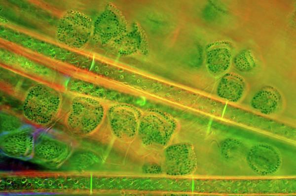 Filamentous Algae Photograph - Diatoms And Spirogyra Algae by Marek Mis