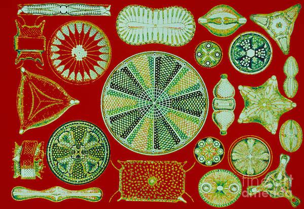 Photograph - Diatoms-ernst Haeckel by Scott Camazine