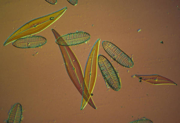 Photograph - Diatoms by Perennou Nuridsany
