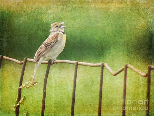 Photograph - Dickcissel On Fence by Pam  Holdsworth