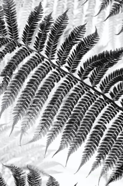 Antarctica Photograph - Dicksonia Antarctica Tree Fern Monochrome by Tim Gainey