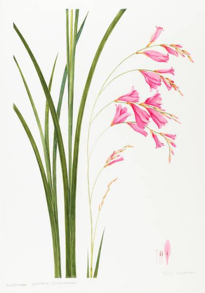 Pretty In Pink Wall Art - Painting - Dierama Pulcherrium by Sally Crosthwaite