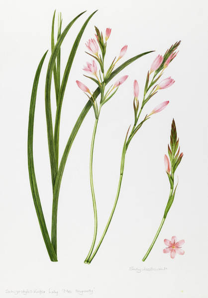 Pretty In Pink Wall Art - Painting - Dierama by Sally Crosthwaite