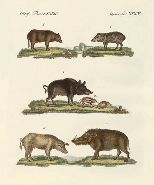 Wall Art - Drawing - Different Kinds Of Pigs by Splendid Art Prints