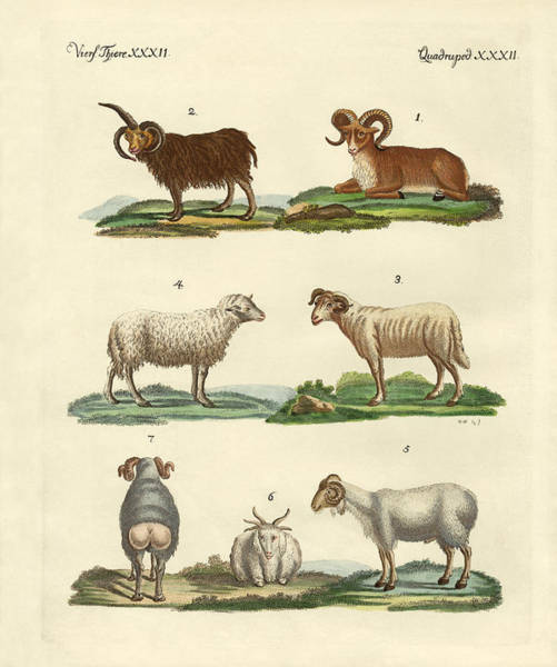Wall Art - Drawing - Different Kinds Of Sheep by Splendid Art Prints