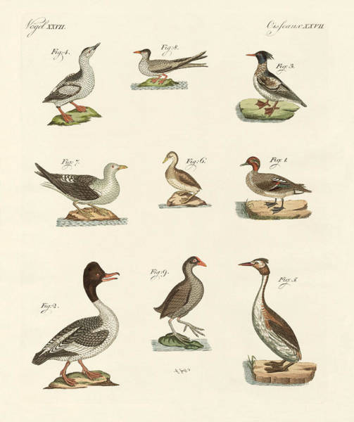 Teal Drawing - Different Kinds Of Waterbirds by Splendid Art Prints