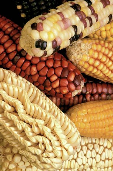 Wall Art - Photograph - Different Maize Varieties by Keith Weller/us Department Of Agriculture/science Photo Library